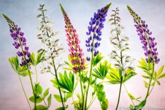 https://www.etsy.com/listing/192955224/flower-photography-pink-blue-lupins-fine?