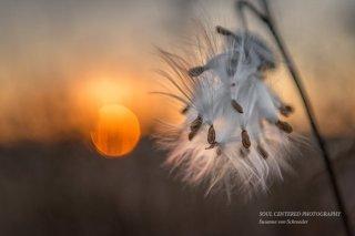https://www.etsy.com/listing/255786346/milkweed-seeds-photo-nature-photography?
