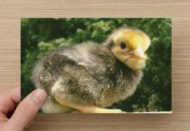 https://www.etsy.com/ca/listing/86585615/farm-animal-photography-curious-chick-on?