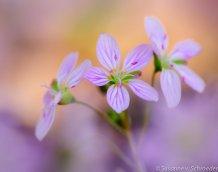 https://www.etsy.com/ca/listing/177236965/flower-photography-spring-beauty-fine?