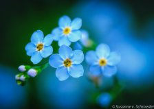https://www.etsy.com/ca/listing/157972042/flower-photography-tiny-blue-forget-me?