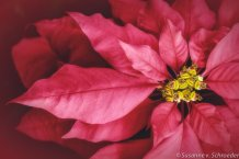 https://www.etsy.com/ca/listing/119113855/discounted-print-flower-photography-red?